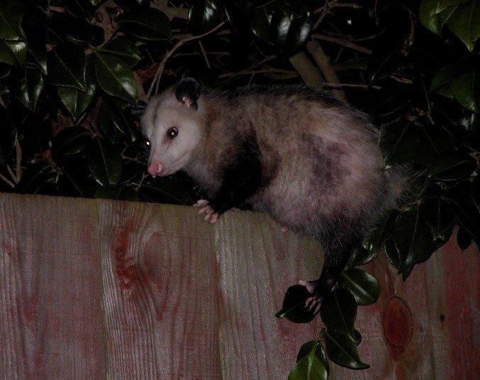 Opossum on a fence