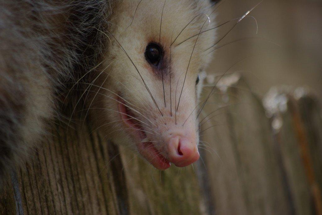 Opossum showing its teeth